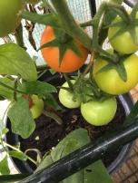 Almost ripe!