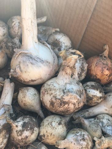 Massive onions
